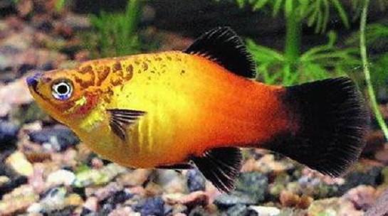 Пецилия пятнистая (Platypoecilus maculatus) — описание,разведение