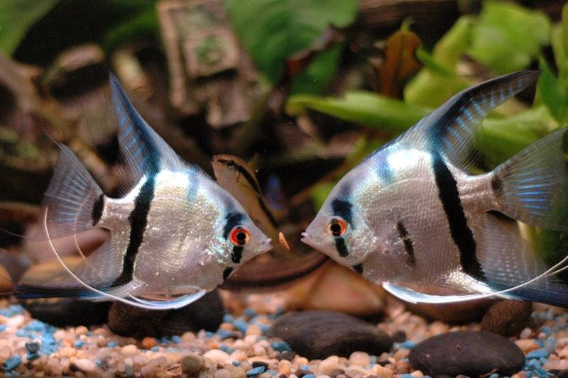 Повадки аквариумных рыб