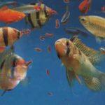 Как и чем питаются аквариумные рыбки?