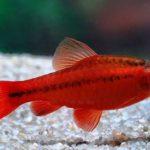 Барбусы Шри-Ланки в аквариуме — виды