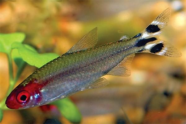 Харациновые аквариумные рыбки описание разведение содержание фото видео