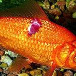 Что делать, если на рыбе появились пятна