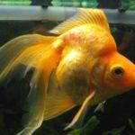 Что делать, если рыба покрылась вязкой слизью