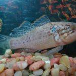 Пятнистая сонная рыбка.
