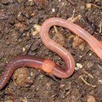 Кольчатые черви — корм для аквариумных рыбок