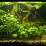 Аквариумные растения, плавающие в толще воды