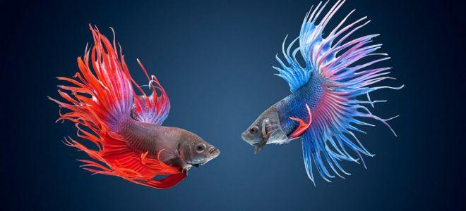 Как ухаживать за аквариумной рыбкой петушок?