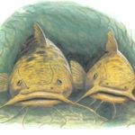 Темный мир аквариумных сомиков