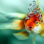 Золотые рыбки разных видов: видео.