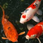 Карповые рыбы  для холодноводных аквариумов