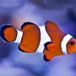 Рыба-клоун: описание,уход,совместимость,фото,видео
