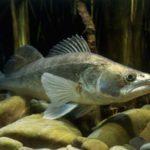 Судак рыба: описание,поведение,нерест,вторичный ход,фото,видео,образ жизни.