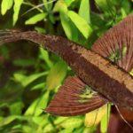 Рыба-бабочка: описание,разведение,содержание,фото.