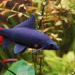 Лабео: виды, содержание, размножение, совместимость, фото, питание, видео