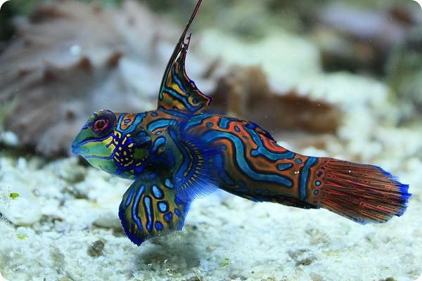 Мандаринка рыба в морском аквариуме: описание,фото,видео,уход.