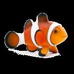 Рыбы-клоуны в природе.