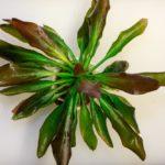 Эхинодорус озирис — аквариумное растение