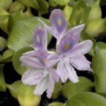 Эйхорния отличная или красивейшая, водяной гиацинт (Eichhornia crassipes) или зеленая чума