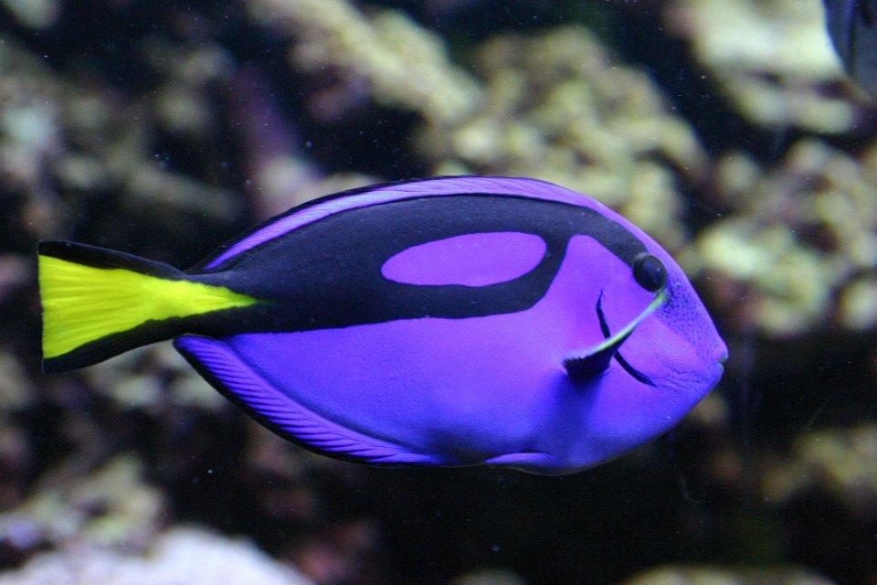 Голубой хирург в морском аквариуме: описание,содержание,размножение,фото