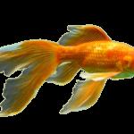 Золотые рыбки: виды,фото и названия.