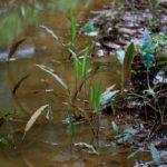 Аквариумные растения Тайланда и Вьетнама