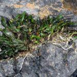 Криптокорины карликовые (Cryptocoryne pygmaea) — остров Палаван.