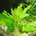 Эхинодорус селловианус: описание,размножение,содержание,фото,видео.