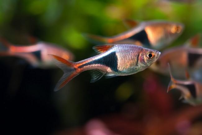 Агрессия аквариумных рыбок
