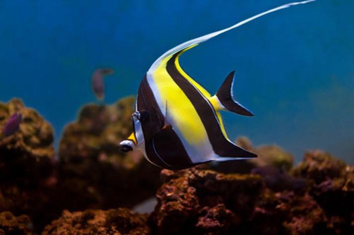 Мавританский идол рыба: описание,размножение,содержание,фото,видео
