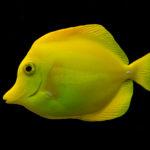 Зебрасома желтая или желтый парусник; описание,содержание,фото,видео,кормление