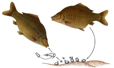 Ботриоцефалез  рыб.