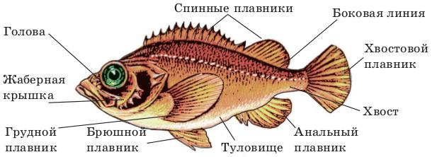 Внутреннее строение костистых рыб