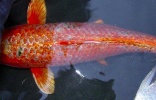 Дактилогирозы рыб