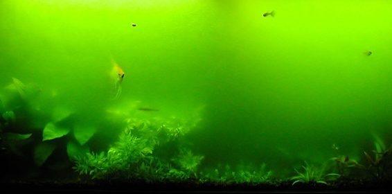 Mętna zielona woda w akwarium.