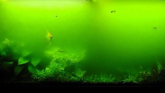 Мутно-зеленая вода в аквариуме.