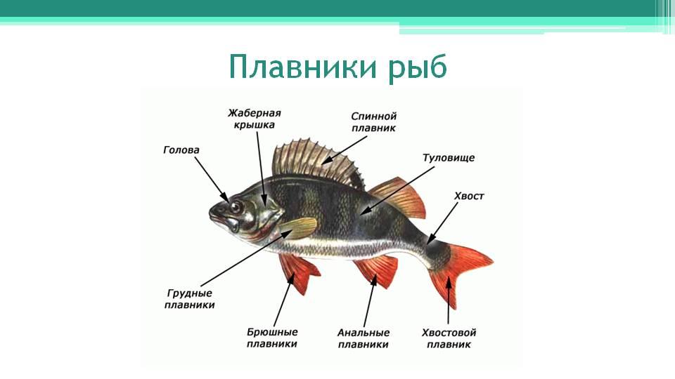 Как сделать плавник для рыбки