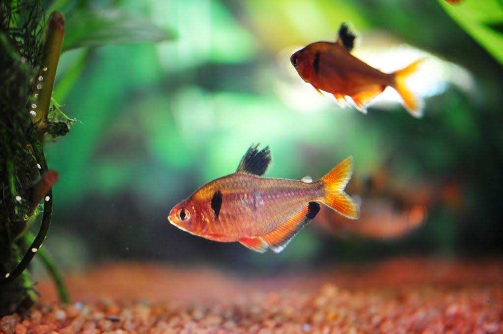 Аквариумные рыбки рассеивающие икру.
