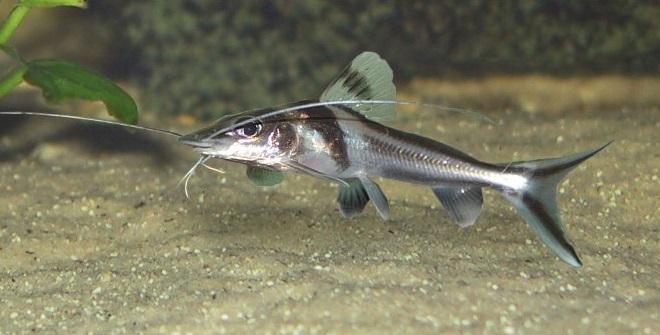 Пимелодус узорчатый (Pimelodus ornatus): описание,содержание,фото
