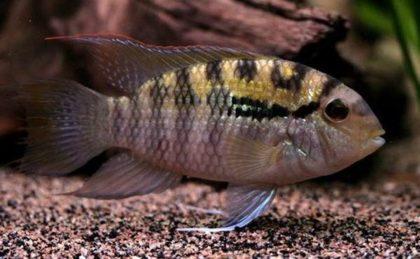 Правильное содержание и уход за рыбкой акантофтальмус кюля