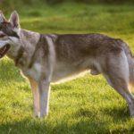 Чехословацкий влчак: описание породы,уход,содержание,питание,фото,видео.