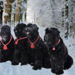 Черный русский терьер или собака Сталина: описание,уход и содержание,фото,видео.