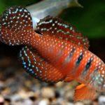 Таблица тропических пресноводных аквариумных рыб