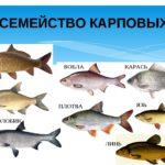 Семейство Карповые Cyprinidae — аквариумные и пресноводные рыбы