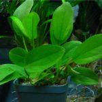 Эхинодорус Ашерсона: описание,содержание,размножение.