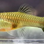 Как лечить бранхиомикоз у аквариумных рыбок?