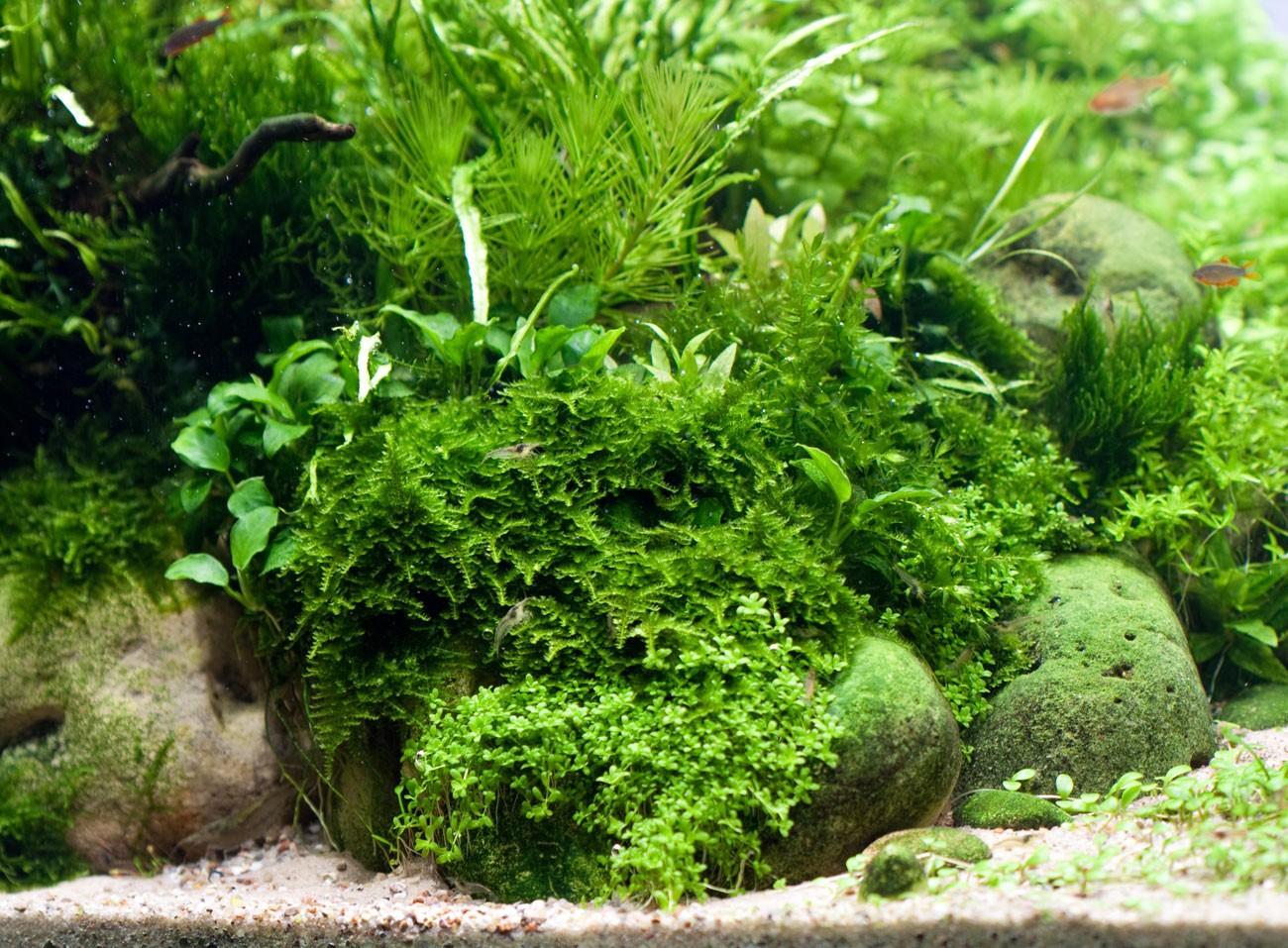 Как отличить водоросли от других аквариумных растений?