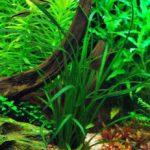 Эхинодорус метельчатый: содержание и разведение.