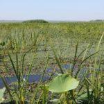 Водяной орех — отечественное водное растение