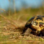 Среднеазиатская черепаха: содержание и уход в домашних условиях,фото,видео.