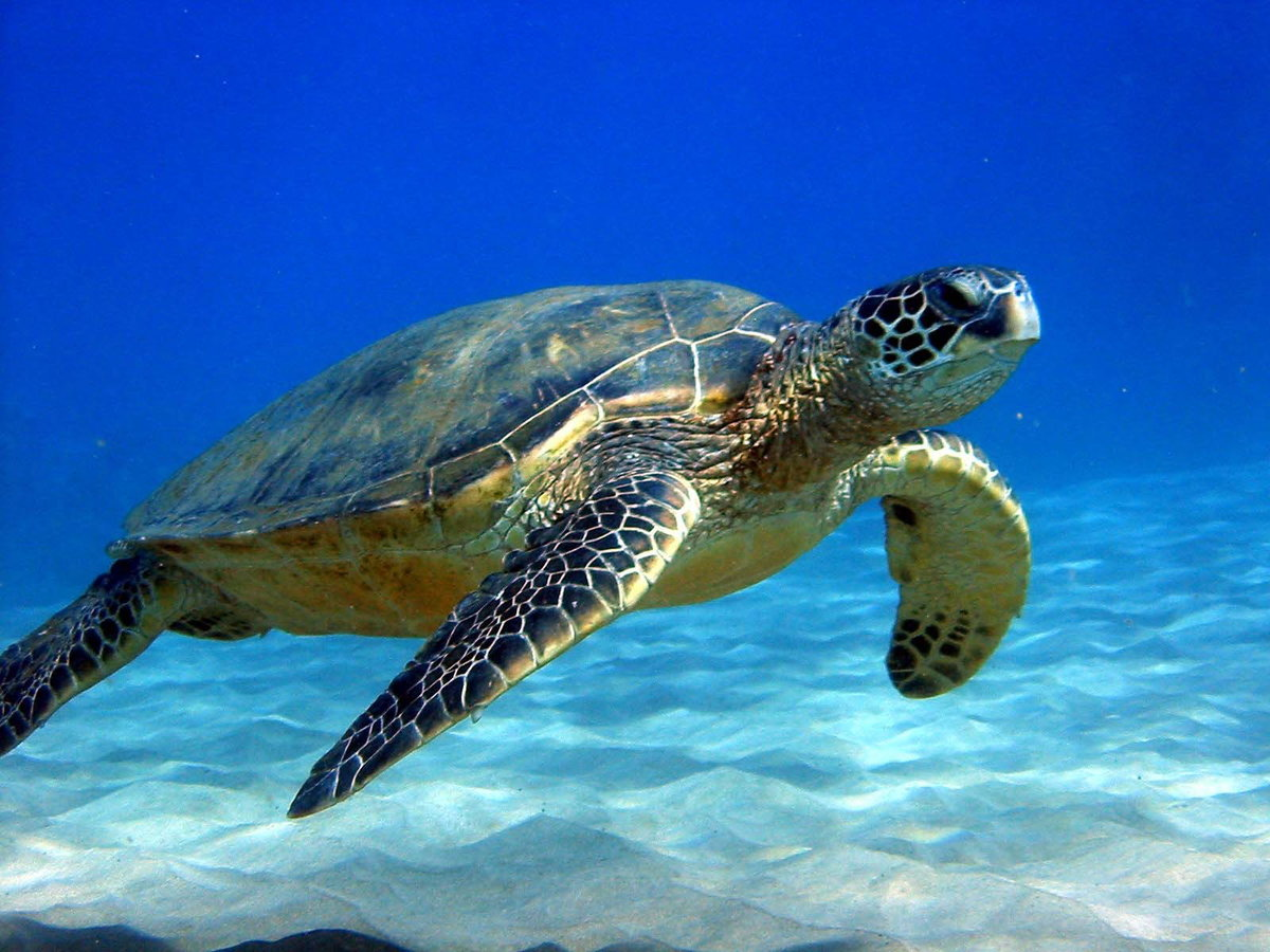 Морские черепахи: описание фото,виды,содержание,уход,питание